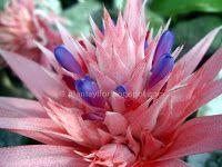 Plantas y flores: Aechmea fasciata