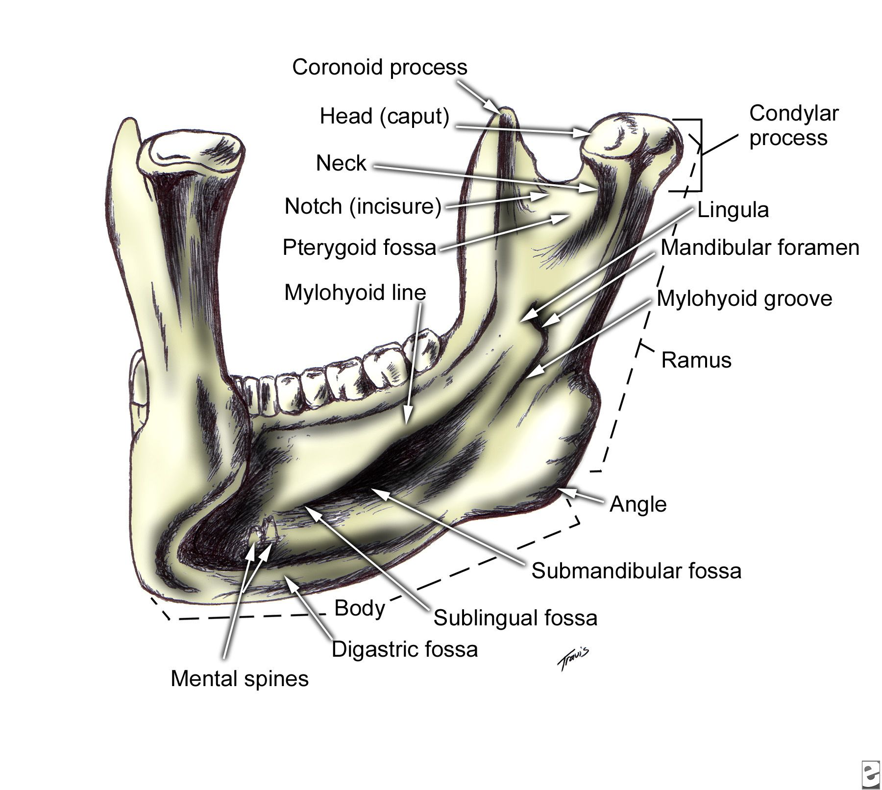 Mandible Left Posterior View Anatomy Pinterest Anatomy