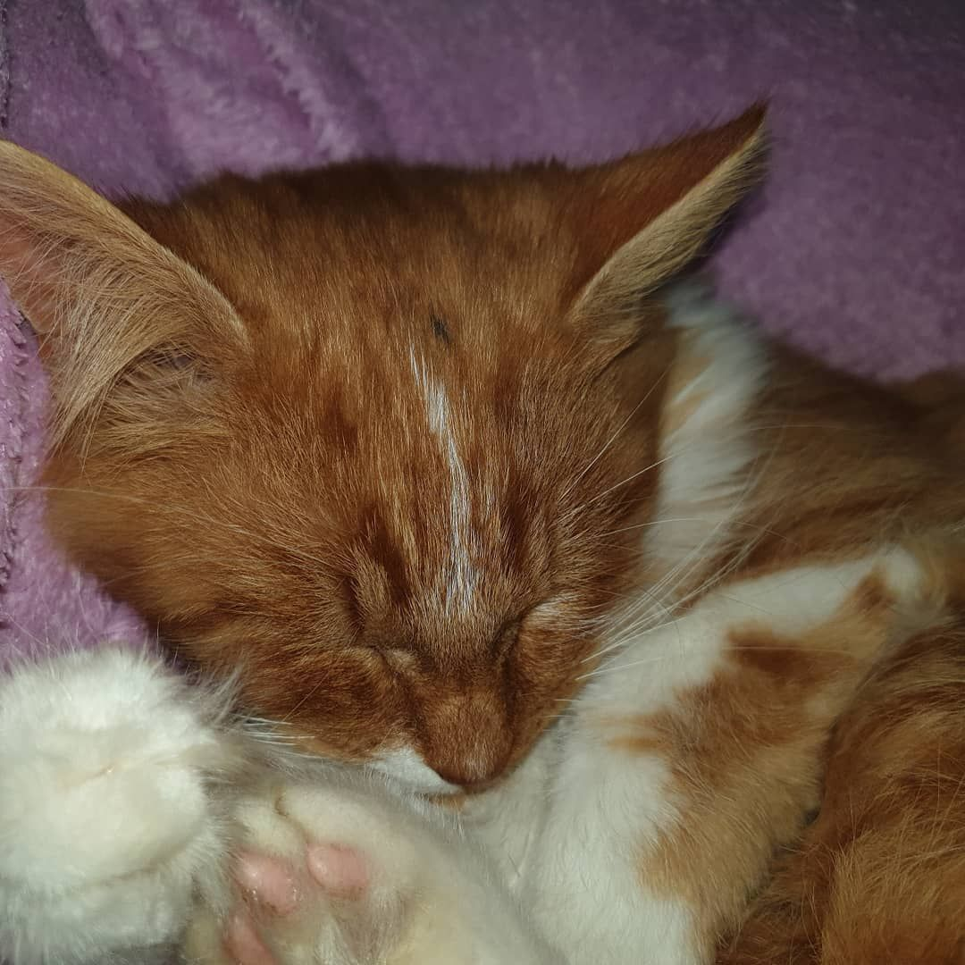 #animal #cats #catsofinstagram #cuddling #ginger #kitten #love #pets #red #gingerkitten #animal #cats #catsofinstagram #cuddling #ginger #kitten #love #pets #red #gingerkitten #animal #cats #catsofinstagram #cuddling #ginger #kitten #love #pets #red #gingerkitten #animal #cats #catsofinstagram #cuddling #ginger #kitten #love #pets #red #gingerkitten