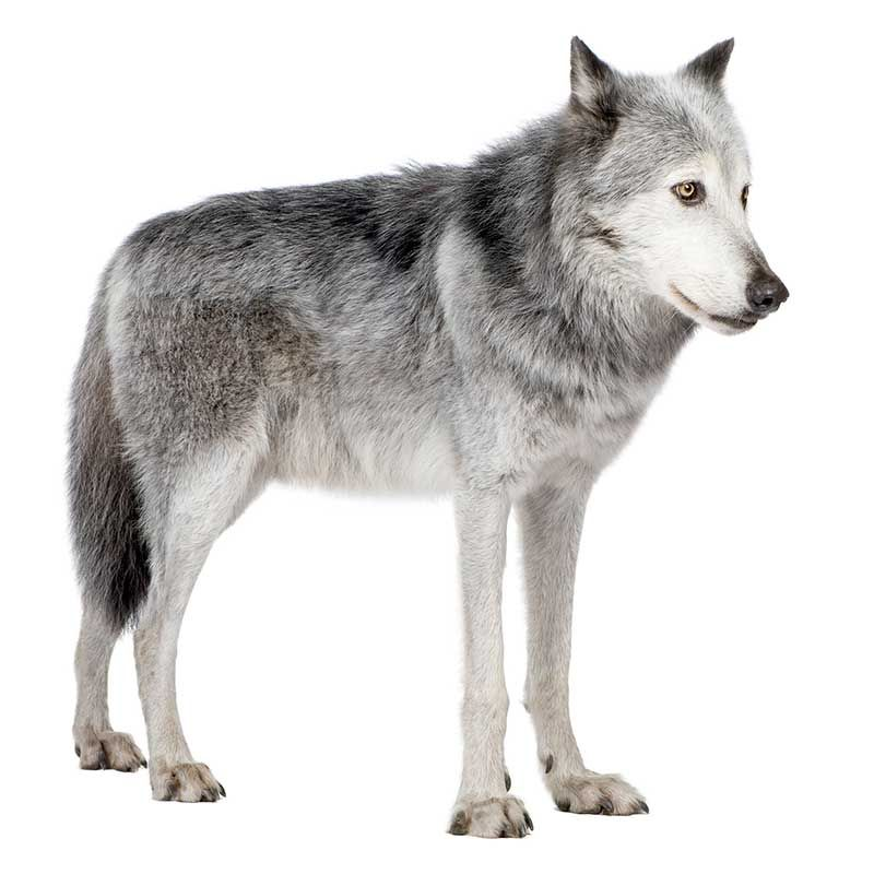 Anatomía externa de un lobo gris (Canis lupus) | Cánidos | Pinterest ...