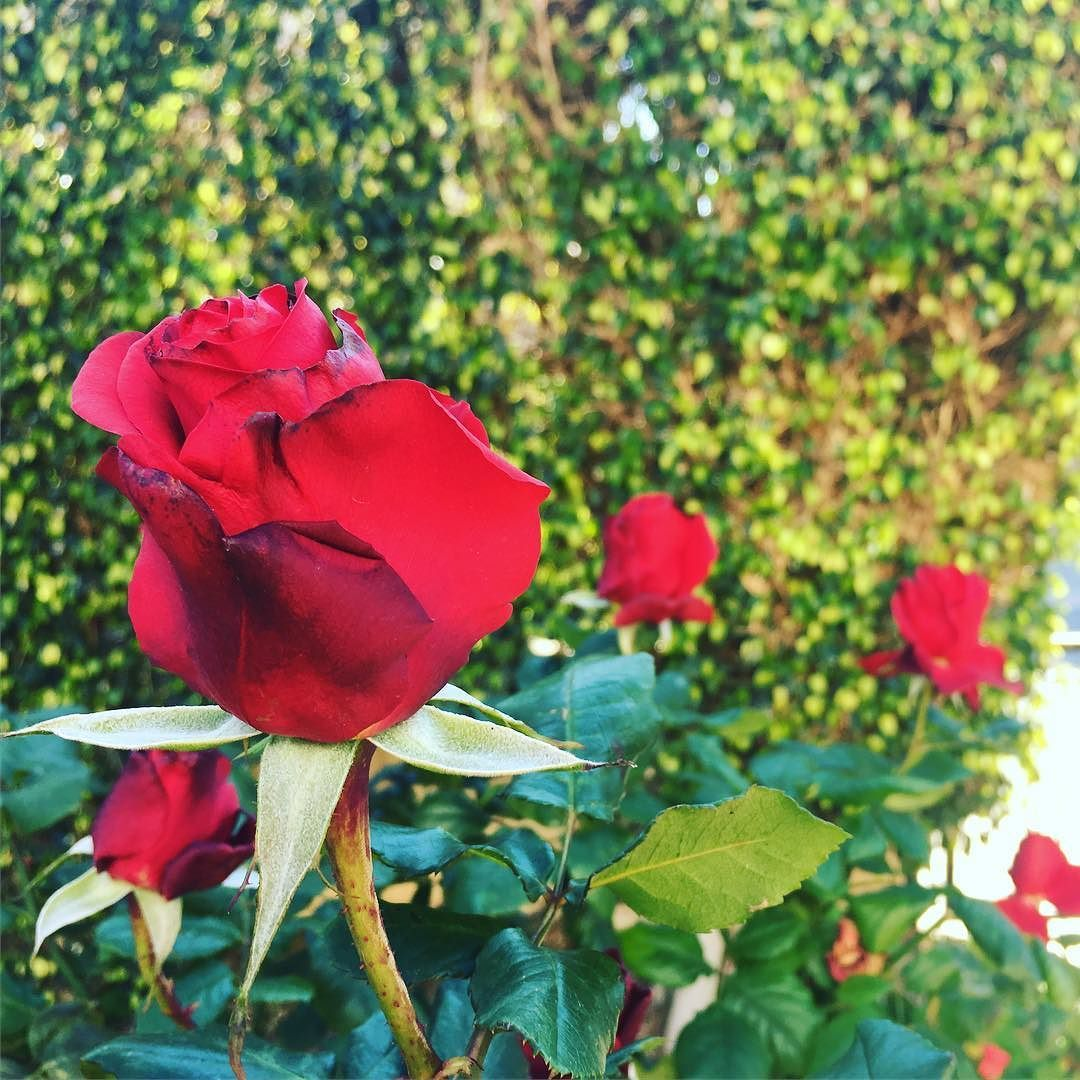 Roses Kill The Winter Sitting In The Cyprus Sun And Being Happy Rose Instagram Instagram Posts