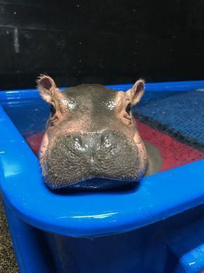Baby hippo's keepers learn to live with bruises #babyhippo Fiona the baby hippo surveys her domain. #babyhippo Baby hippo's keepers learn to live with bruises #babyhippo Fiona the baby hippo surveys her domain. #babyhippo