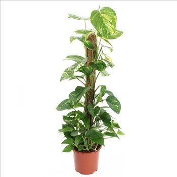 plante interieur pothos