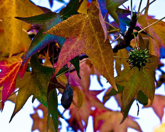 Fall Picture Large Photo Of Autumn Leavestree By Ashnatkodesigns
