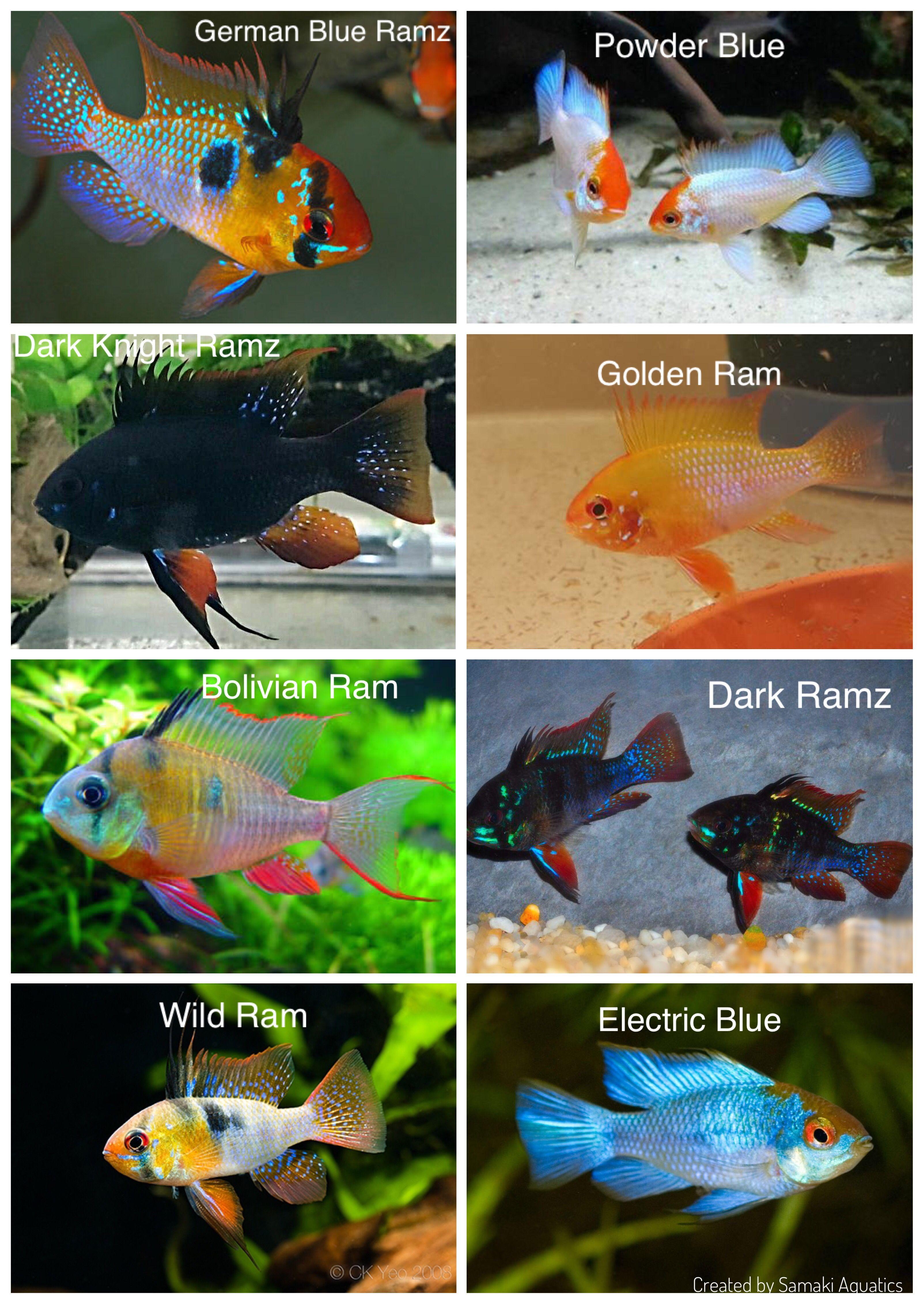 Ramirezi Strains Compliments of: Samaki Aquatics | Fish charts ...