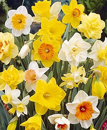 20 All In One Mixture Narcissus Narcissus Various Groups Read More Reviews Of The Product By Visiting The Link On Th Bulb Flowers Narcissus Flower Flowers