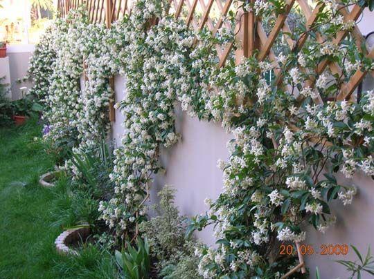 Clematide rampicante sempreverde google search piante - Sempreverde da giardino ...