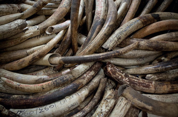 """MARTIN MIDDLEBROOK / STOP IVORY """"To photography 140 tons of ivory, each tusk an elephant, and to witness some of the few remaining 'tusker' tusks, giant tusks from a genetic variation of elephants that are all but extinct now — it hit me hard. I stood in silence, a kind of 'head bowed' trance, trying to take it all in,"""" he said."""