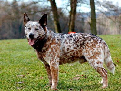 Heavily Mottled Coat Smartest Dog Breeds Cattle Dog Heeler