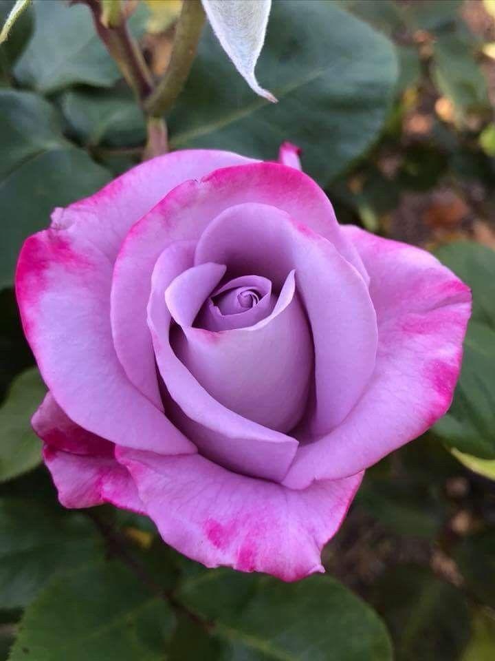 Pin by Jennifer Darner on Wants | Beautiful rose flowers ...  One