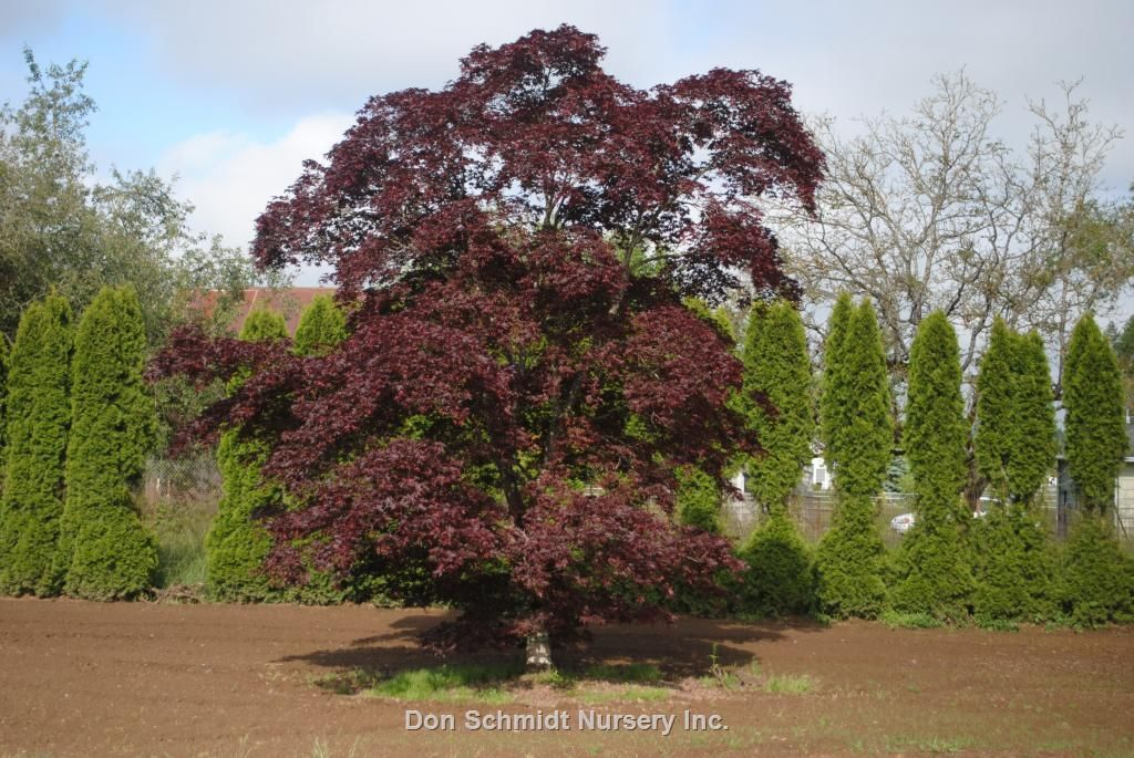 Acer Palmatum Bloodgood Whole Nursery Supplies Plant Growers In Oregon