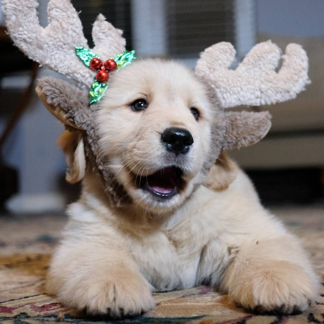 𝓒𝓪𝓷𝓭𝔂 𝓛𝓲𝓬𝓲𝓸𝓾𝓼 Baby Reindeer Cute Dogs Golden Retriever