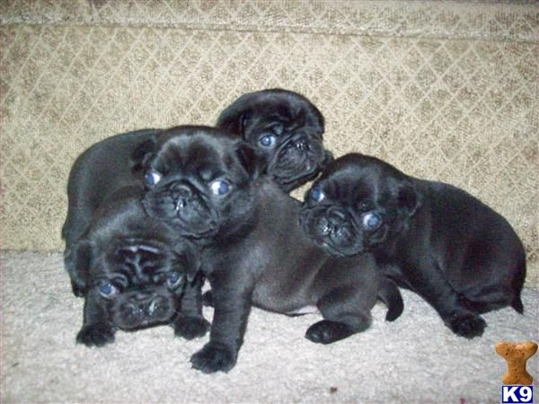 Adorable Black Pug Puppies Pug Puppies For Sale Pug Puppies
