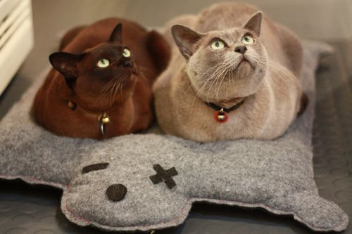 love that color chocolate cat love me too