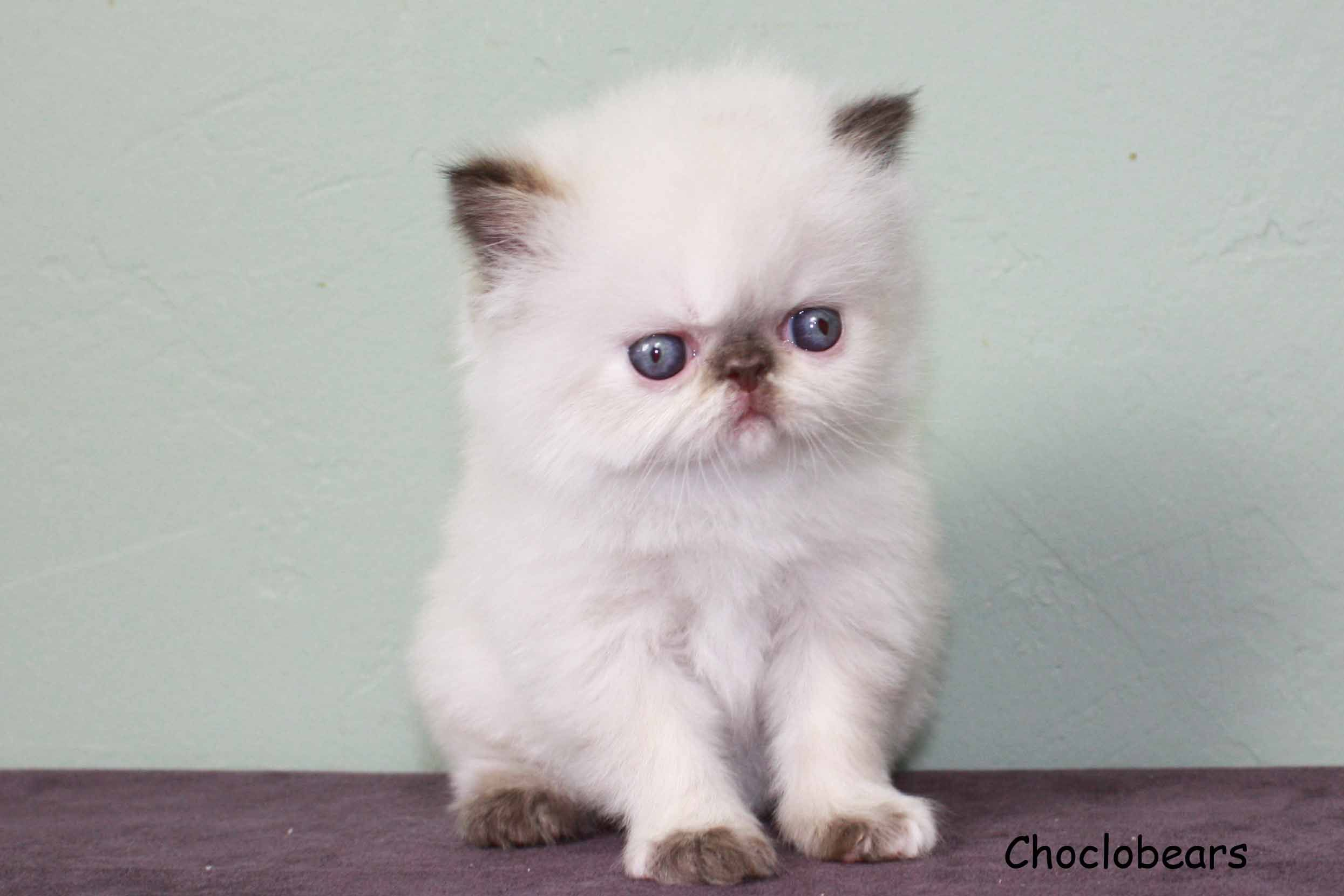 Choclobears Cattery Chocolate Tortie Point Himalayan Kitten 4 Weeks Old Himalayan Kitten Cute Cats Beautiful Cats