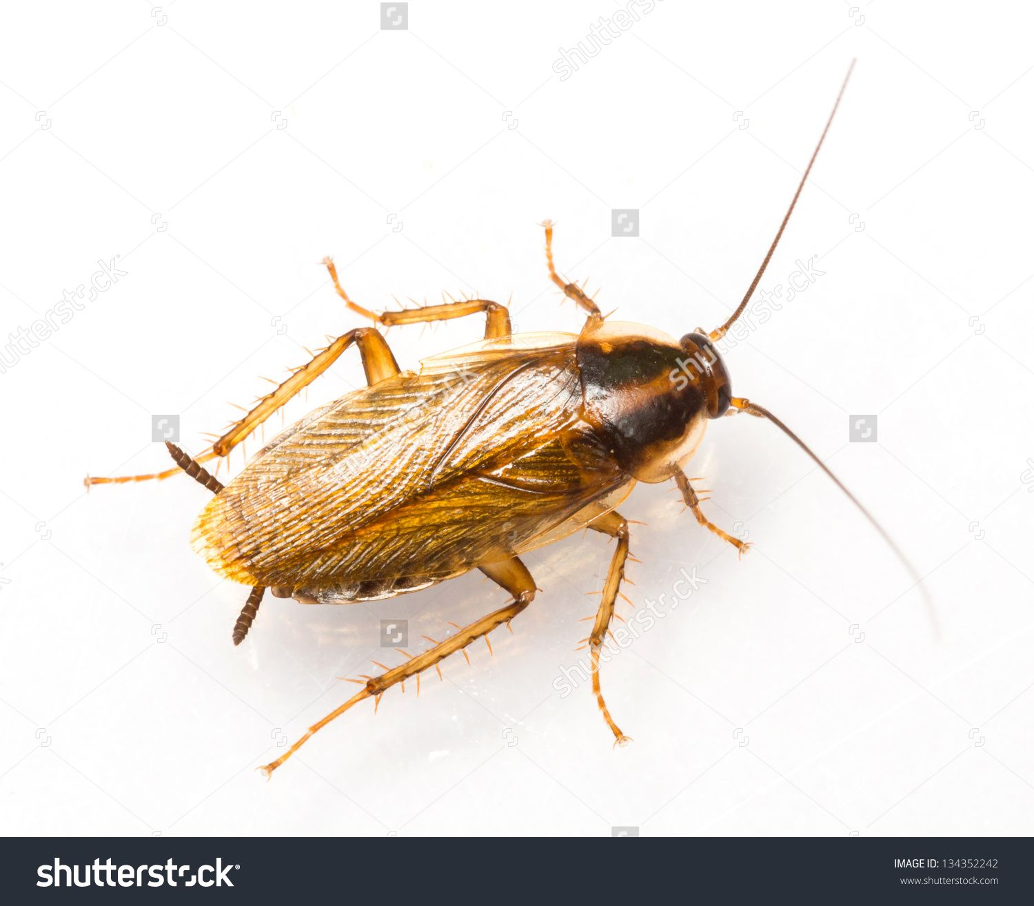 Close up blattella germanica german cockroach isolated on white ...