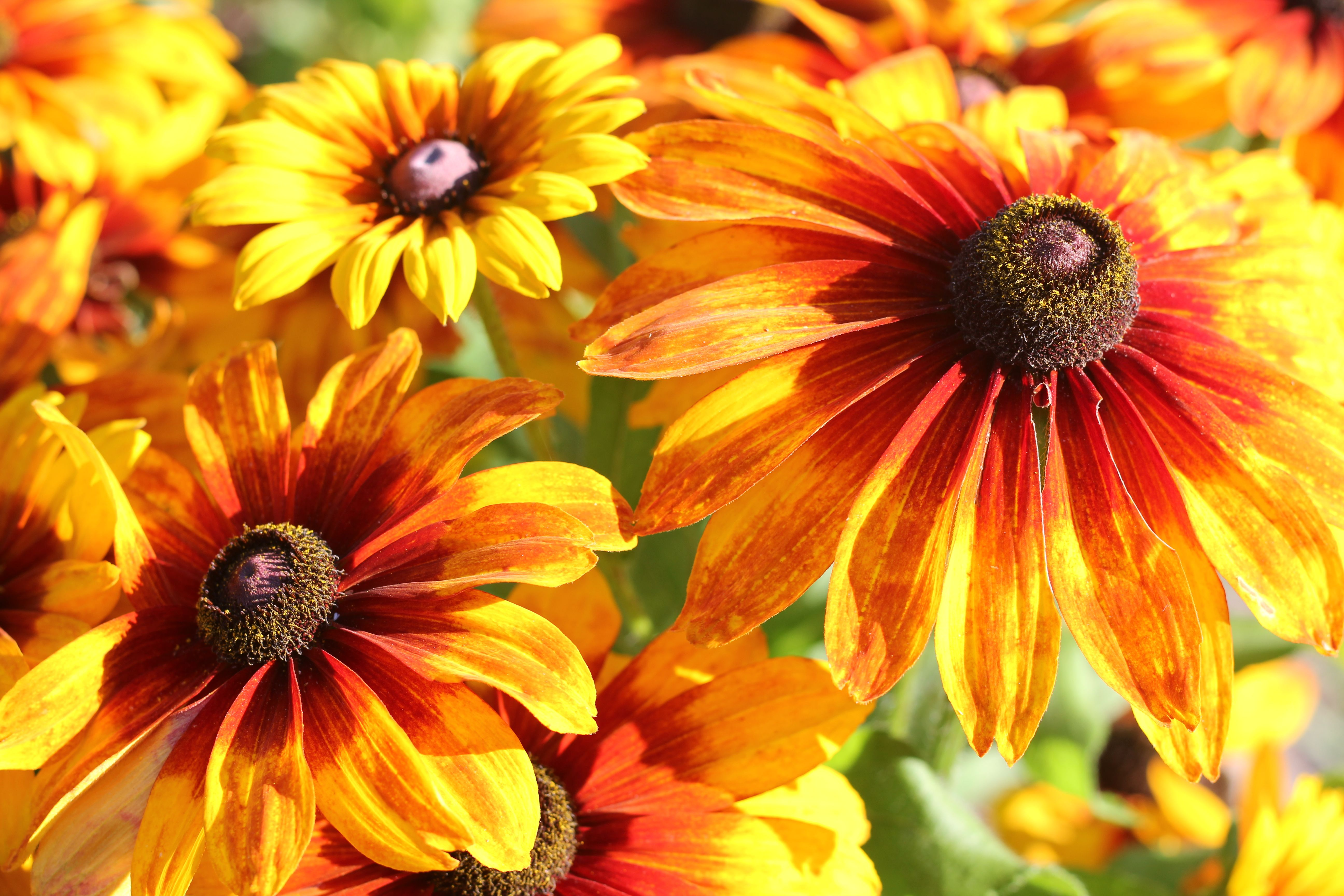 Autumn Colors S Sy Dark Eyed Daisies In Shades Of Bronze