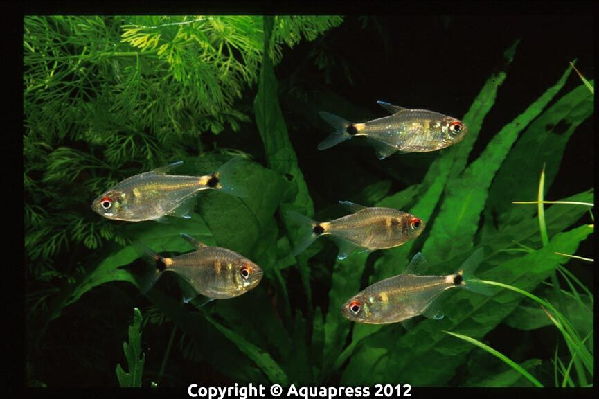 Hemigrammus Ocellifer Head And Tail Light Tetra Tropical