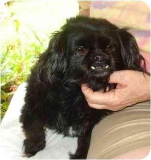 Jacksonville, FL Pekingese. Meet Becky a Dog for