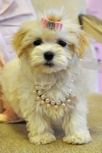 Teacup Havanese | Havanese Teacup Puppies | Havanese ...