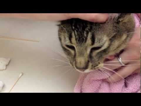 If Your Cat Has Discharge From Their Ear Or Seems To Have