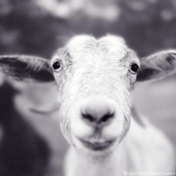 Sale 7x7 smiling goat photo happy farm animal art print goat art black and white photography print goat print mitten the goat