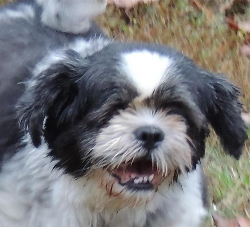Adopt Pearl On Shih Tzu Shih Tzu Dog Pet Adoption