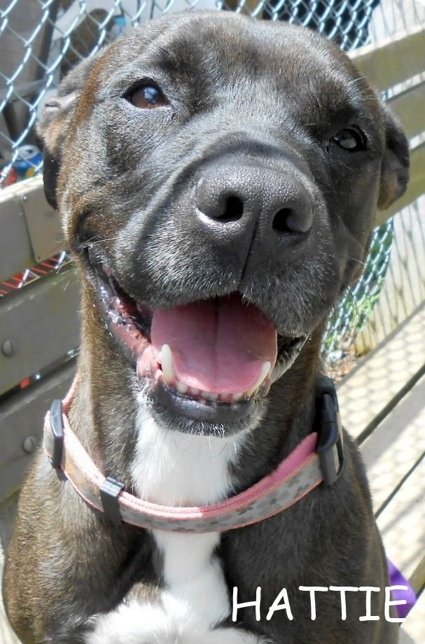 Hattie Pit Bull Terrier • 7 yrs old • Female • Large Orange County Animal Shelter Orange, VA http://www.petfinder.com/petdetail/26482233/