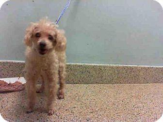 Urgent Senior Poodle Miniature Dog For Adoption In Miami
