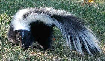 Homemade Skunk Odor Removal How To Get Rid Of Skunk Smell From Your Pets Getting Rid Of Skunks Skunk Smell Skunk