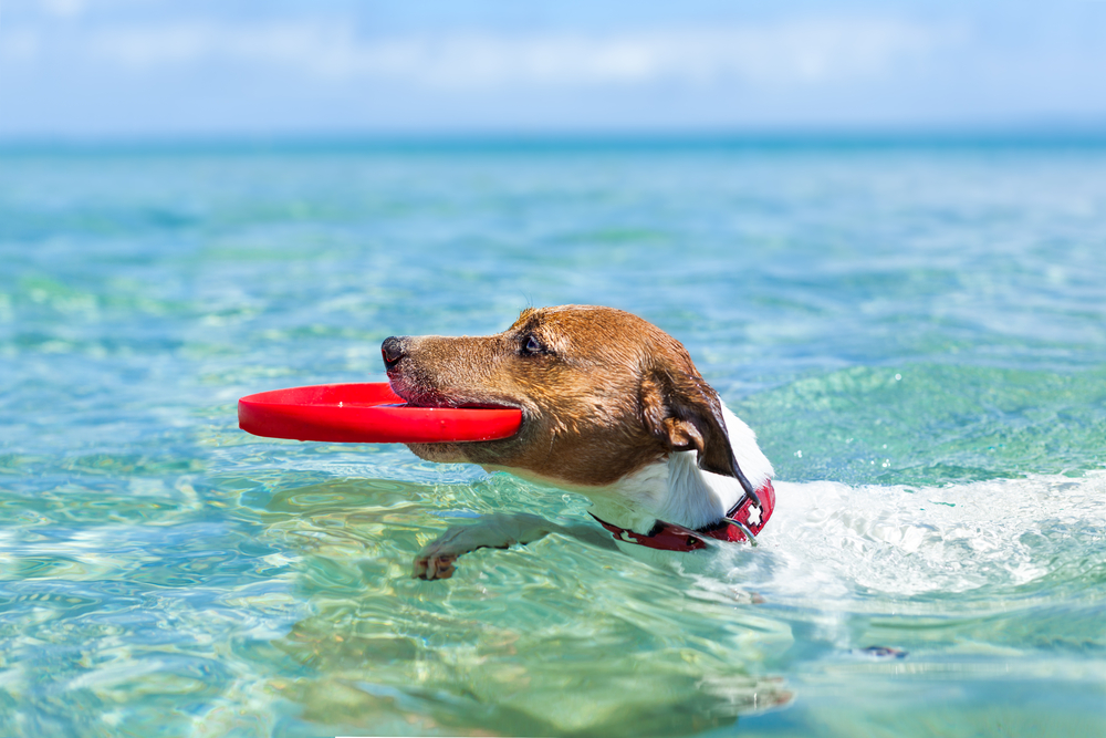 Dog Catching Red Flying Disc Swimming Dog Catching Red Flying Disc Swimming