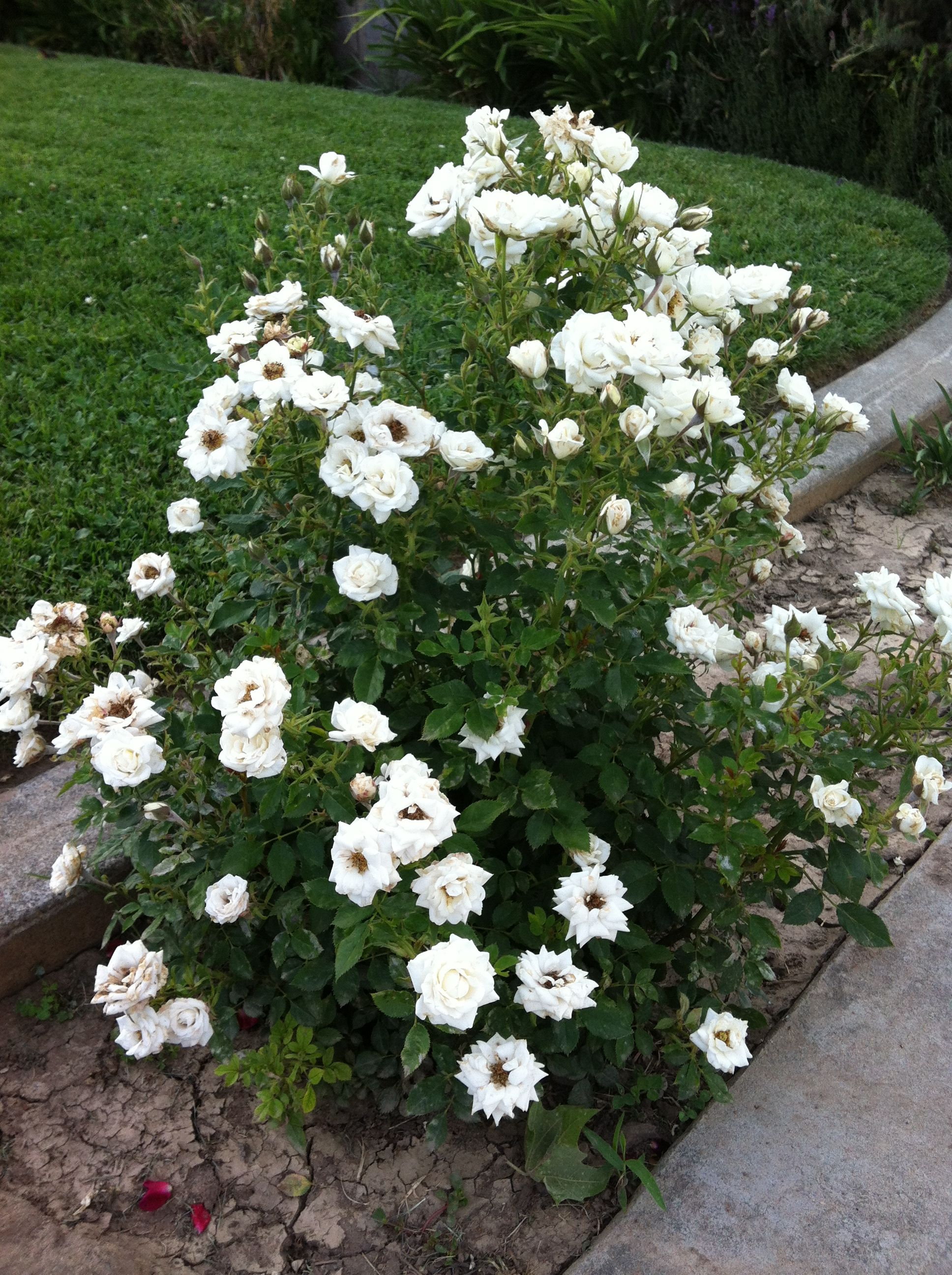 White Mini Rose Bush Mini Roses Garden Plants