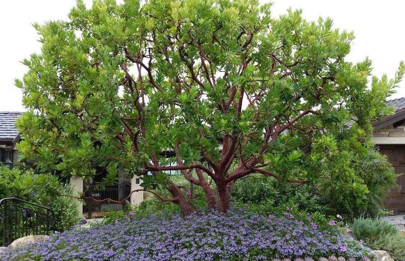 Arbutus Marina    Strawberry Tree   1 Plants  2 To 3   Feet | Etsy