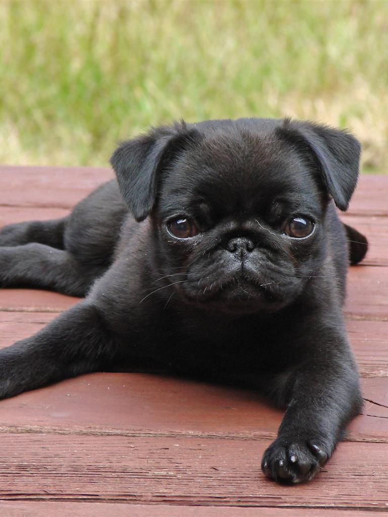 Omg How Could You Not Melt At That Face Cute Pugs