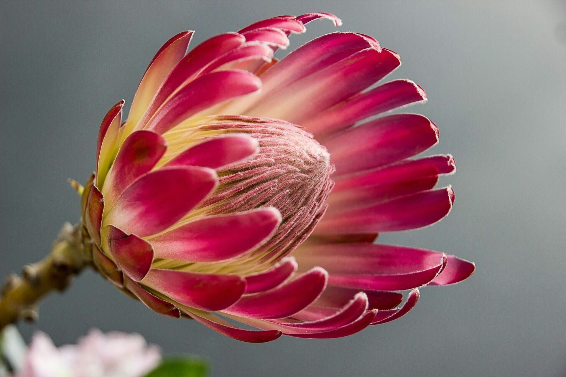 Hd Wallpapers Backgrounds Protea Flower Protea Flowers