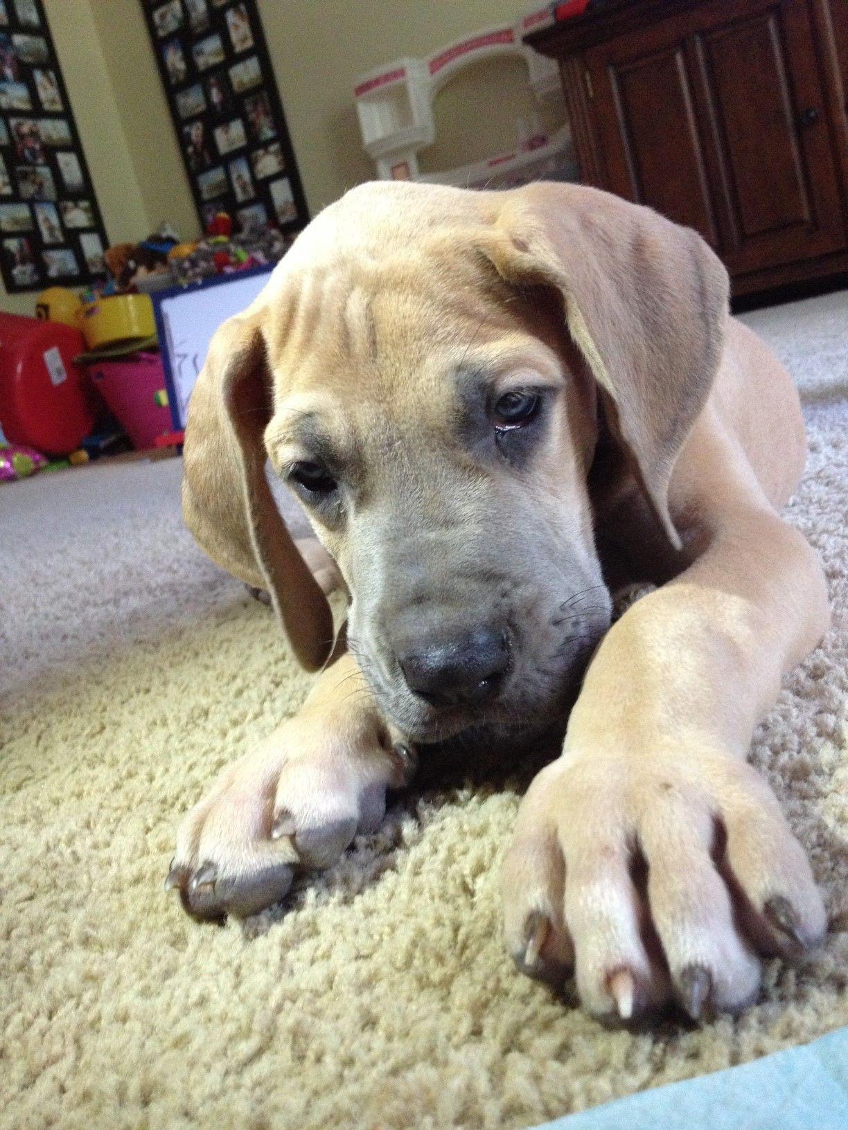 Weimaraner Dogs For Sale Merseyside Uk 2021