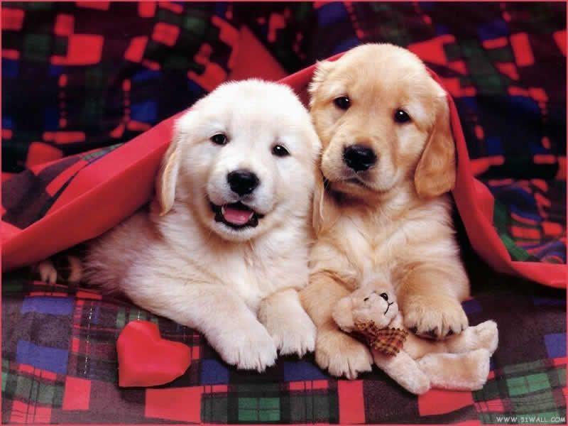 Golden Retriever Golden Retriever Puppy Wallpaper Mall Cute