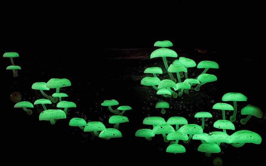 Mycena chlorophos.Tipos surpreendentes de Cogumelos fotografado por Steve Axford
