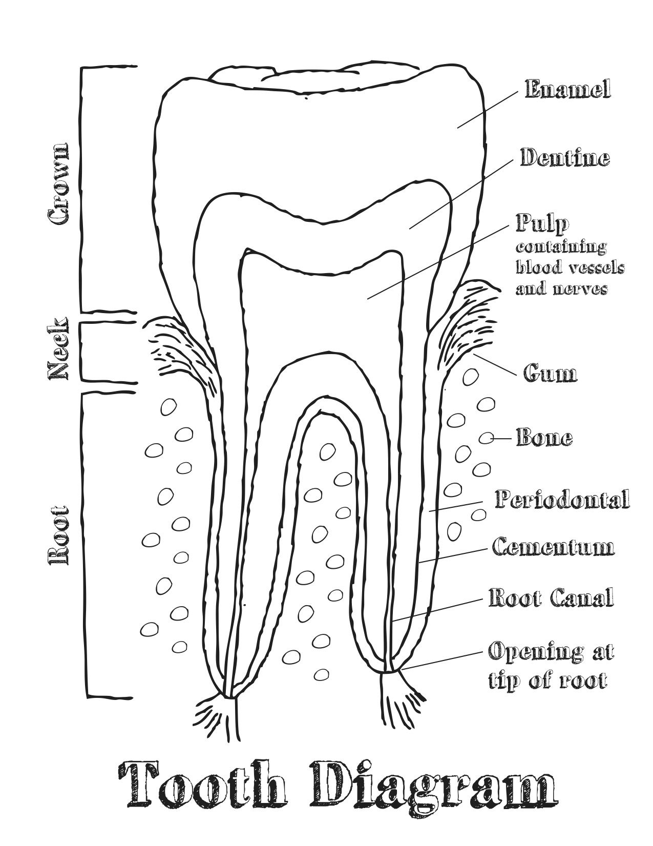 diagram of tooth anatomy dental tooth chart diagram - yahoo image search results ...