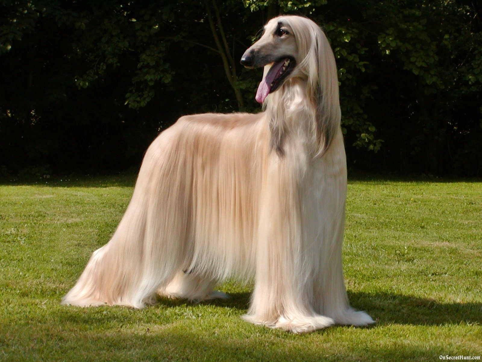 Afghan Hound Dog Breed History And Some Interesting Facts Long Haired Dogs Hound Dog Breeds Long Haired Dog Breeds