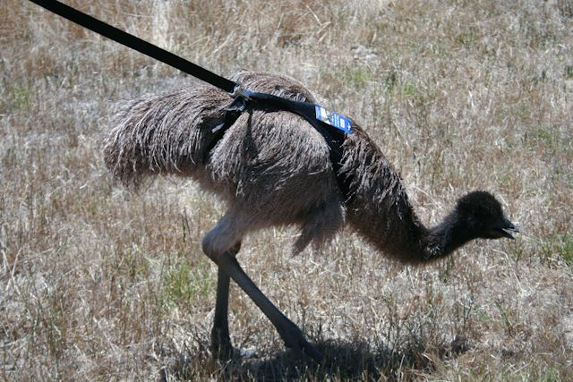 Emu Mobili ~ The emu breeder recommended halter training so with a couple of