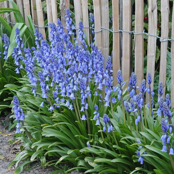 hyacinthoides hispanica 'excelsior' - das blaue spanische, Gartengestaltung