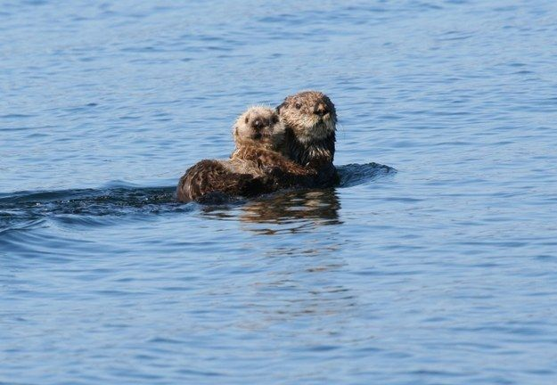 Pups can't swim so sea otter moms have to carry their babies on their bellies.