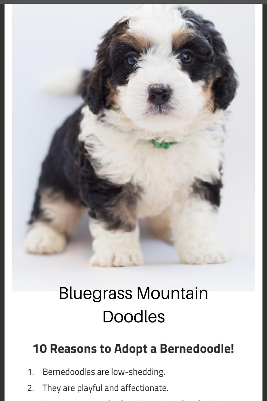 #adorabledogs  #pets #adorablepuppy #petstagram #petsofinstagram #petslife #doodleoftheday #doodlesofinstagram #available #puppylove #puppytraining #bernedoodle #bernesemountaindog #availablenow
