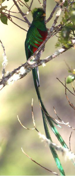 Resplendent Quetzal by Larry H. Thompson