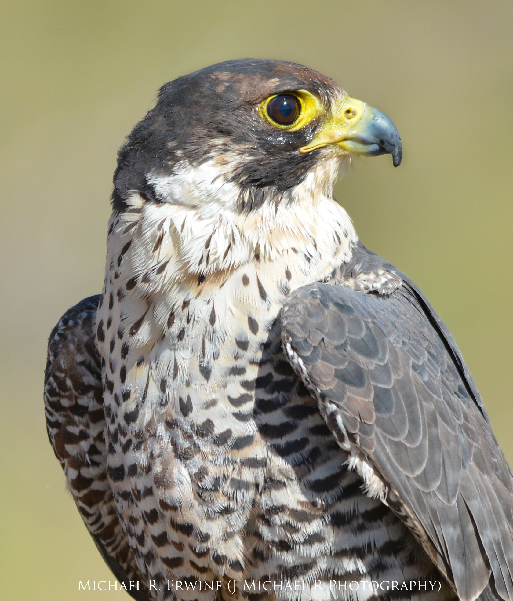 Location Animal Ark Reno Nv Animals Peregrine Falcon Barbary