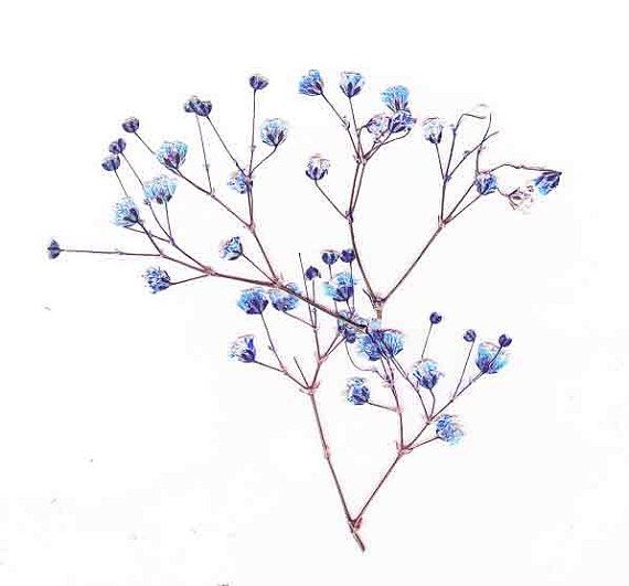 Pressed Baby S Breath Real Pressed Flowers By Preservedgardens Babys Breath Flower Tattoos Nature Tattoos