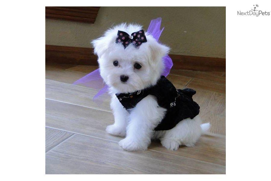 Maltese Puppy For Sale Near Dallas X2f Fort Worth Texas A54c9857 30a1 Maltese Puppy Teacup Puppies Maltese Maltese Dogs