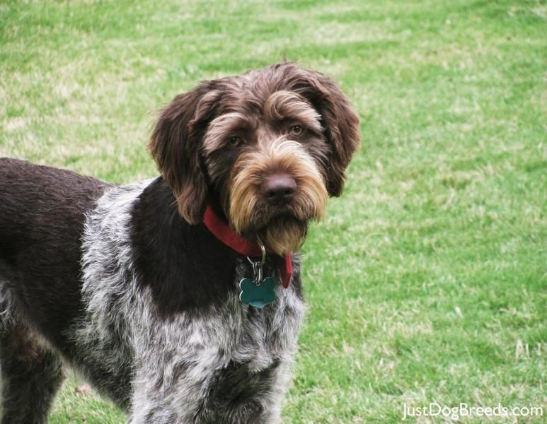 The German wirehaired pointer is a griffon type breed of dog ...