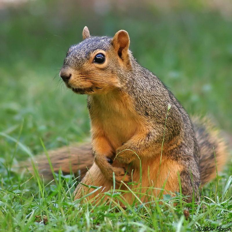 Fox squirrel by Marcin Fox squirrel, Squirrel, Animals